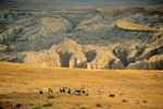 Herd of Mule Deer on prairie with badlands in background at Badlands National Park, South Dakota, AGPix_1435