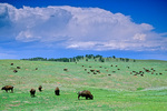 Bison herd grazing on prairie with thunderstorm in distance at Wind Cave National Park in the Black Hills of South Dakota, AGPix_1448