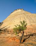 Lone Ponderosa Pine at Checkerboard Mesa in Zion National Park, Utah, UT_01676, AgPix_1468