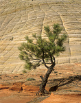 Lone Ponderosa Pine at Checkerboard Mesa in Zion National Park, Utah, UT_01670, AGPix_1500