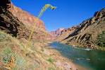 Agave flowering along Colorado River in Grand Canyon National Park, Arizona AZGC_00283, AGPix_1505