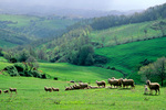Flock of sheep in green hills west of Gubbio, Umbria, Italy, IT_01083, AGPix_1556