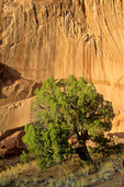 Juniper tree and sandstone wall of Muley Twist Canyon in Capitol Reef National Park, Utah, UT_03512, AGPix_1590