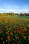 Alpine wildflowers in high meadow on Markagunt Plateau at Cedar Breaks National Monument, Utah, UT_06896, AGPix_1616