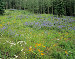 Wildflower meadow near Geyser Pass in La Sal Mountains, Manti-La Sal National Forest near Moab, Utah, UT_04011, AGPix_1674 