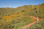 Hiker on Pipeline Canyon Trail, amid spring wildflowers at Lake Pleasant Regional Park, Maricopa County, Arizona, AGPix_1703