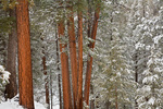 Snowy forest of ponderosa pines and Douglas Fir in Fay Canyon area of Coconino National Forest, Flagstaff, Arizona, AGPix_1720