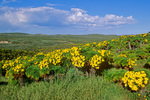 Coreopsis flowering on San Miguel Island at Channel Islands National Park, California, AGPix_1737