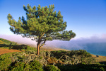 Torrey Pine, (Pinus torreyana insularis) on Santa Rosa Island, Channel Islands National Park, California, AGPix_1742