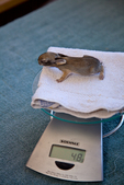Young cottontail rabbit, 5 days old, being weighed at wild rabbit rehabilitation facility, Flagstaff, Arizona, AGPix_1780