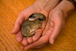 Young cottontail rabbit, 5 days old, being held in hands at cottontail rehabilitation facility, Flagstaff, Arizona, AGPix_1783