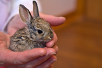 Young cottontail rabbit, 20 days old, being hand held at Wild Heart Cottontail and Jackrabbit Rehabilitation facility, Flagstaff, Arizona, AGPix_1784