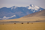 Cattle graze on Babbitt Ranch with snowy San Francisco Peaks in distance, view north of Flagstaff, Arizona, AGPix_1788