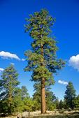 Ponderosa Pine tree, mature, Coconino National Forest near Flagstaff, Arizona, AGPix_1814
