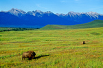 Bison graze at National Bison Range with snowy Mission Range in background, near Moiese, Montana, AGPix_1841