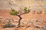Gnarled ponderosa pine grows amid slickrock of Navajo Sandstone, along Zion-Mt. Carmel Highway, near East Entrance of Zion National Park, Utah, AGPix_1866