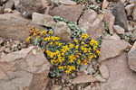 San Francisco Peaks Groundsel, Senecio franciscanus, an threatened species growing high in the Kachina Peaks Wilderness Area in the San Francisco Peaks area of the Coconino National Forest, near Flagstaff, Arizona, AGPix_1876