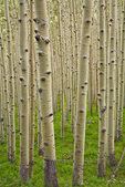White trunks of aspen trees in grove in the San Francisco Peaks, Coconino National Forest, near Flagstaff, Arizona, AGPix_1882