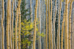 Small yellow tree of the genus Prunus,  probably chokecherry amid grove of autumn aspen trees on mountain slopes in San Francisco Peaks, Coconino National Forest, Arizona, AGPix_1883
