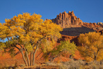Cottonwood tree with golden autumn color and The Castle rising in background at Capitol Reef National Park, Utah, AGPix_1909