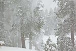 Ponderosa pine forest during February snowstorm in Fay Canyon, Flagstaff, Arizona, AGPix_1926