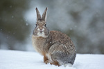 Cottontail rabbit on snowy winter day, Flagstaff, Arizona, AGPix_1927