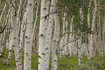 Pando, clonal colony of Quaking Aspen trees, Populus tremuloides, covering 107 acres and having 47,000 stems, said to be the heaviest known organism on earth, Fishlake National Forest, Utah, AGPix_1932