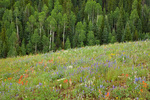 "Wildflowers color meadow in ""The Basin"" area of Kaibab Plateau, on North Rim of Grand Canyon National Park, Arizona, AGPix_1934"