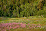 "Wildflowers, Gilia,  color meadow in ""The Basin"" area on North Rim, Grand Canyon National Park, Arizona, AGPix_1935"