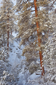 Snowy ponderosa pine forest, in Sandys Canyon, Coconino National Forest, Flagstaff, Arizona, USA, _MG2_10905