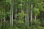Aspen grove along 473 road to Hawley Lake, Fort Apache Indian Reservation, Whiteriver, Arizona, _MG2_15850