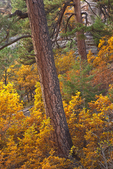 Ponderosa pines and gambel oaks in autumn color, in Walnut Canyon, below Fisher Point, Coconino National Forest, Flagstaff, Arizona, _MG2_17503