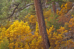 Ponderosa pines and gambel oaks in autumn color, in Walnut Canyon, below Fisher Point, Coconino National Forest, Flagstaff, Arizona, _MG2_17507