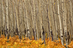 Grove of aspen trees with understory of ferns, autumn in Hart Prairie area on the San Francisco Peaks, Coconino National Forest, near Flagstaff, Arizona, USA, _MG2_17650