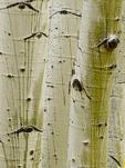 Aspen tree trunks in grove, Hart Prairie area on the San Francisco Peaks, Coconino National Forest, near Flagstaff, Arizona, USA, _MG11_15983