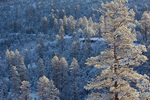Winter in the ponderosa pine forest, from rim of Walnut Canyon, near Lake Mary Road, Coconino National Forest, Flagstaff, Arizona, AGPix_1977
