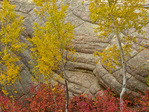 Aspen trees and colorful autumn vegetation growing amid sandstone cliffs of Walnut Canyon, below Fisher Point, Coconino National Forest, Flagstaff, Arizona, AGPix_1995