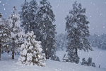 Snowstorm with flash on falling snowflakes in ponderosa pine forest, Flagstaff, Arizona, AGPix_2021