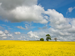 Canola or rapeseed field of bright yellow flowers, pines in background, north of Aberdeen, in Aberdeenshire, Scotland, AGPix_2033