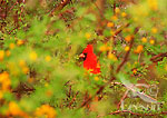 Male Northern Cardinal (Cardinalis cardinalis) in huisache tree, Texas.  Late March.