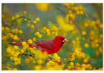 Male Cardinal (Cardinalis cardinalis) sitting in huisache tree (N.A. acacia tree), Texas.  March.