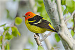 Male Western Tanager (Piranga ludoviciana) sitting in aspen tree.  Western U.S., Spring.