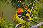 Male Western Tanager (Piranga ludoviciana).  Western U.S., Spring.