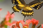 Giant Swallowtail Butterfly (Papilio cresphontes) flying while nectaring on flowers.