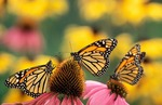 Monarch Butterflies (Danaus plexippus) feeding on Purple Coneflowers (Echinacea purpurea). North America.