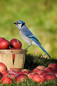 Blue Jay (Cyanocitta cristata) in autumn backyard with MacIntosh apple. Nova Scotia. Canada.