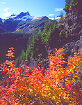 Vine Maples & Tatoosh Range in Mount Rainier National Park