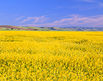 Eastern Oregon Canola Crop in Bloom