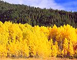 Quaking Aspen & Cascade Range, Washington