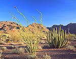 Ocotillo & Organ Pipe Cactus in Arizona's Sonoran Desert